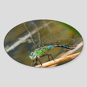 Female emperor dragonfly - Sticker (Oval)