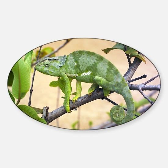 Flap-necked chameleon - Sticker (Oval)