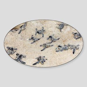 Green turtle hatchlings - Sticker (Oval)