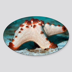 Horned sea star - Sticker (Oval)