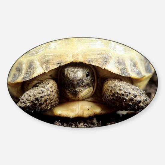 Horsfield tortoise - Sticker (Oval)
