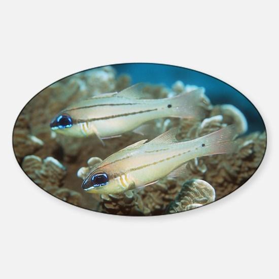 Seale's cardinalfish - Sticker (Oval)