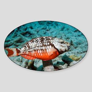 Stoplight parrotfish - Sticker (Oval)