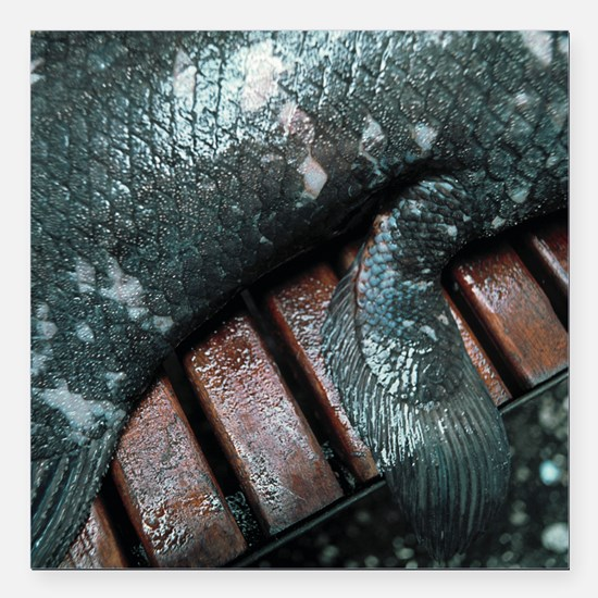 Coelacanth fish fin - Square Car Magnet 3