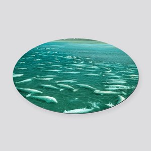 Beluga whales moulting - Oval Car Magnet