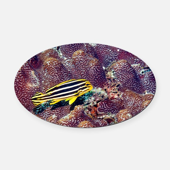 Juvenile lined sweetlips - Oval Car Magnet