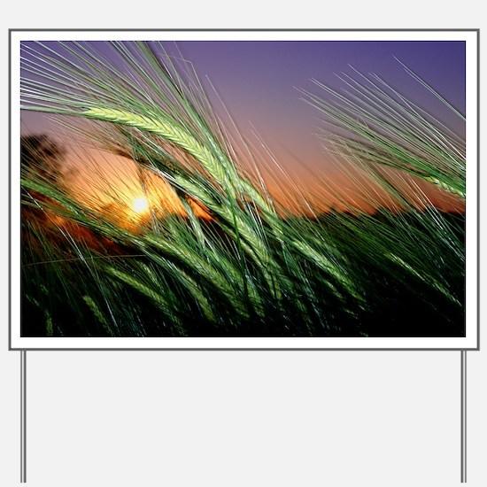 Field of barley at sunset - Yard Sign