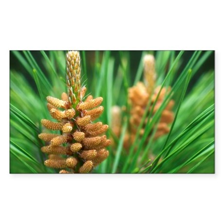 White pine (Pinus strobus) - Sticker (Rectangle)