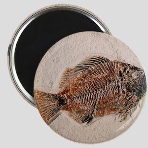 Fossilised fish, Priscacara serata - Magnet
