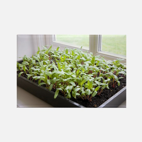 Seedlings of Perpetual Spinach - Rectangle Magnet