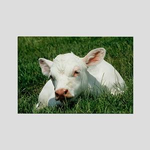 Charolais calf - Rectangle Magnet