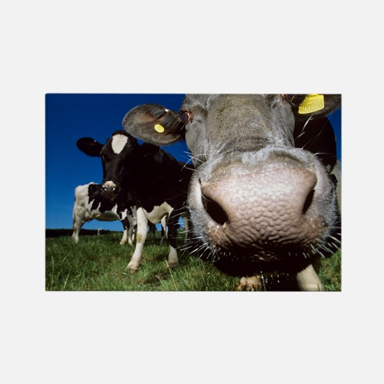 Cows - Rectangle Magnet