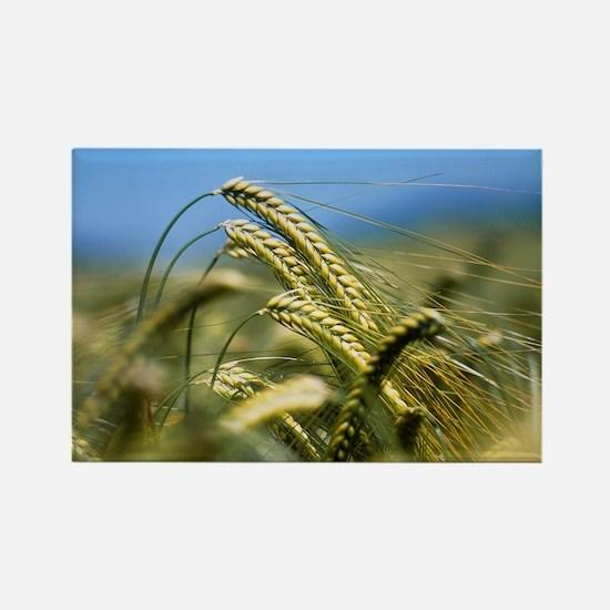 Ears of barley, Hordeum sp - Rectangle Magnet