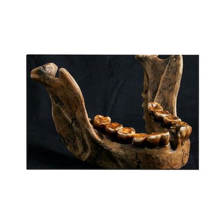 Homo Floresiensis Mandible Rectangle Magnet By Sciencephotos