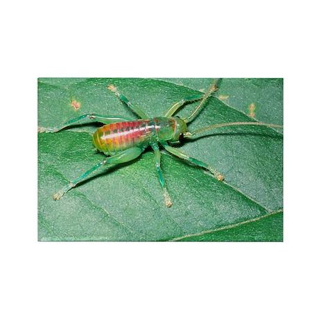 Bush-cricket nymph - Rectangle Magnet