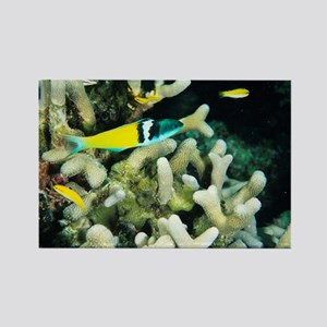 Bluehead wrasse - Rectangle Magnet