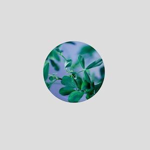 Alfalfa (Medicago sativa) - Mini Button