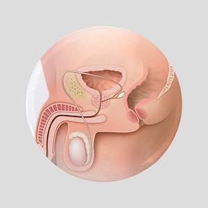 Male pelvic region, artwork - 3.5