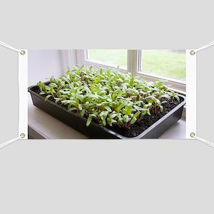 Seedlings of Perpetual Spinach - Banner