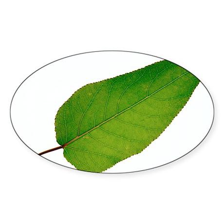 Populus trichocarpa leaf - Sticker (Oval 10 pk)
