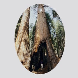 Giant sequoia - Oval Ornament