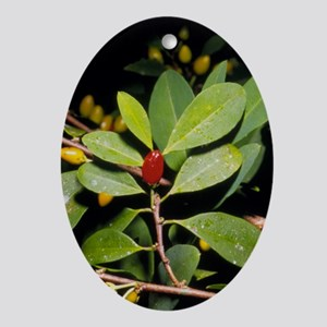 Fruit and leaves of cocaine plant - Oval Ornament