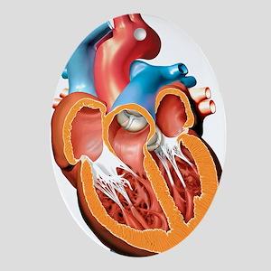 Human heart anatomy, artwork - Oval Ornament