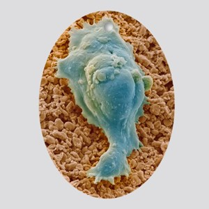 Human embryonic stem cell, SEM - Oval Ornament