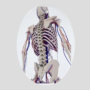 Human anatomy, artwork - Oval Ornament