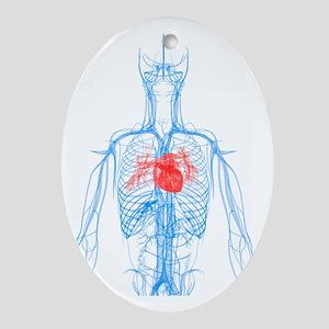 Cardiovascular system, artwork - Oval Ornament