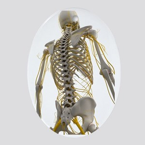 Human nervous system, artwork - Oval Ornament