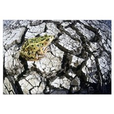 Leopard Frog On Dry Farmland, Red River Valley, Ma Poster