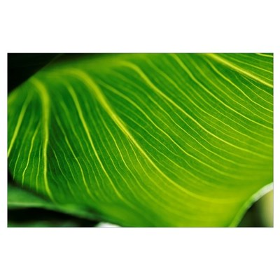 Extreme Close-Up Of Calla Lily Leaf Poster