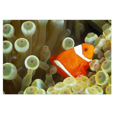 Side View Of A Spinecheek Clownfish, White Striped Framed Print