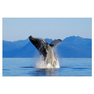 Humpback Whale Breaching In Inside Passage, Southe Poster
