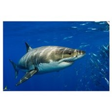 Mexico, Guadalupe Island, Great White Shark (Carch Poster