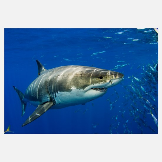 Mexico, Guadalupe Island, Great White Shark (Carch