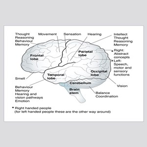 Functional areas of the brain, artwork