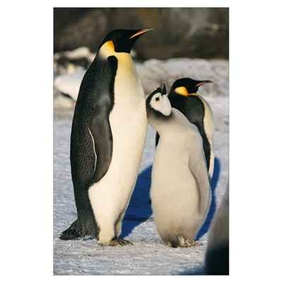 Emperor penguins with chick Poster
