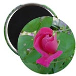 Beautiful Rose Photo Magnet