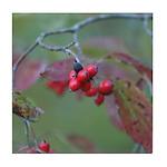 Dogwood Berries Tile Coaster