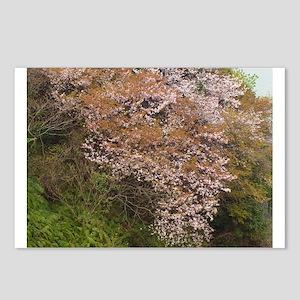 Wild cherry variety (Yamazakura) blooming Postcard