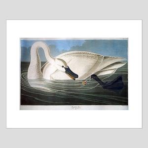 J J Audubon - Swan Posters
