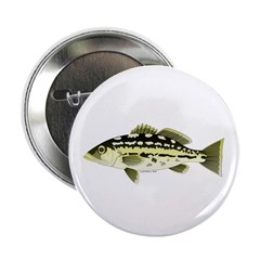 Calico Kelp Bass fish 2.25