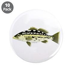 Calico Kelp Bass fish 3.5