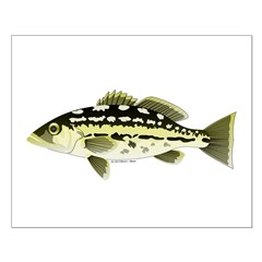 Calico Kelp Bass fish Posters