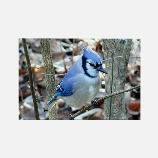 Beautiful BlueJay Rectangle Magnet (100 pack)