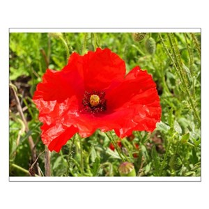 Poppy flower posters cafepress mightylinksfo