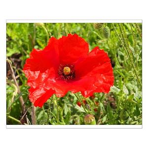 Poppy Flower Posters Cafepress