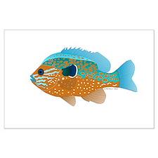 Longear Sunfish fish 2 Posters